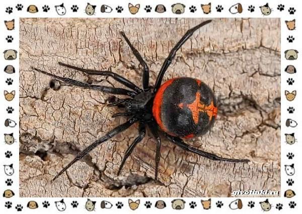Виды-пауков-описание-особенности-и-образ-жизни-27