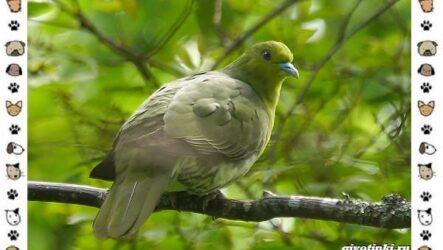 Зелёный голубь: описание, особенности и среда обитания птицы