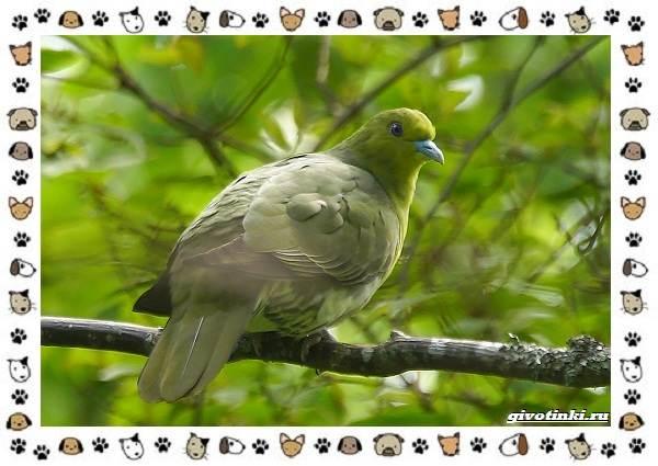 Зелёный-голубь-описание-особенности-и-среда-обитания-птицы-3