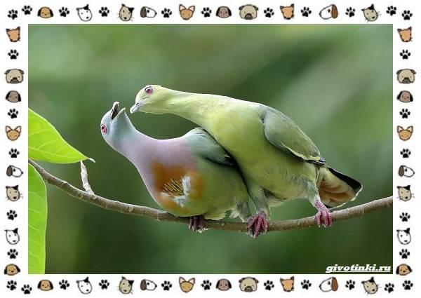 Зелёный-голубь-описание-особенности-и-среда-обитания-птицы-4