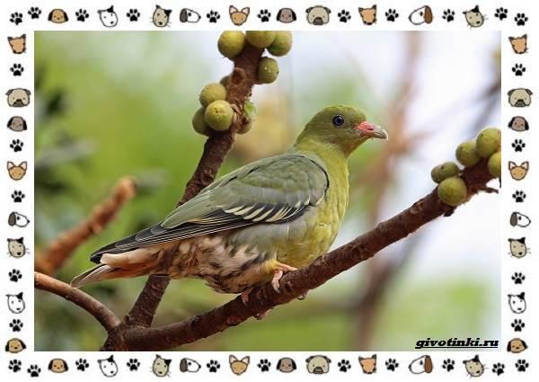 Зелёный-голубь-описание-особенности-и-среда-обитания-птицы-5