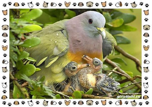 Зелёный-голубь-описание-особенности-и-среда-обитания-птицы-6