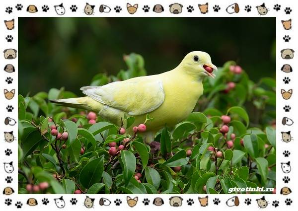 Зелёный-голубь-описание-особенности-и-среда-обитания-птицы-7