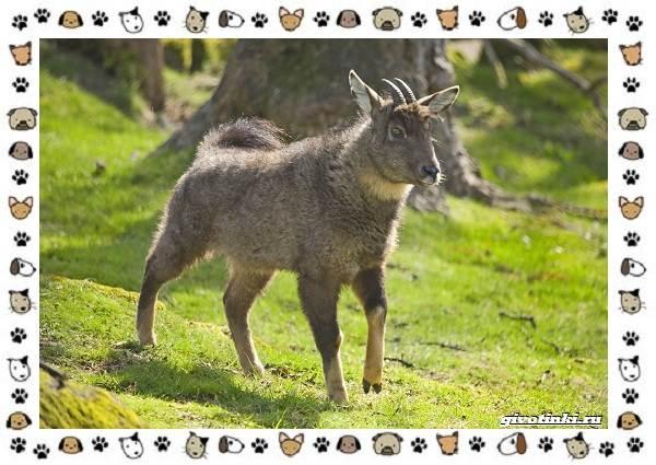 Амурский-горал-описание-особенности-и-среда-обитания-1