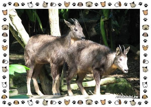 Амурский-горал-описание-особенности-и-среда-обитания-2