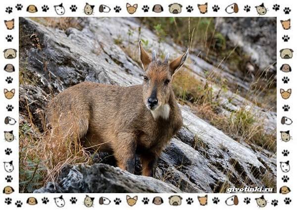 Амурский-горал-описание-особенности-и-среда-обитания-3