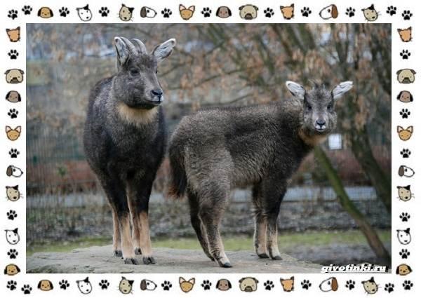 Амурский-горал-описание-особенности-и-среда-обитания-4