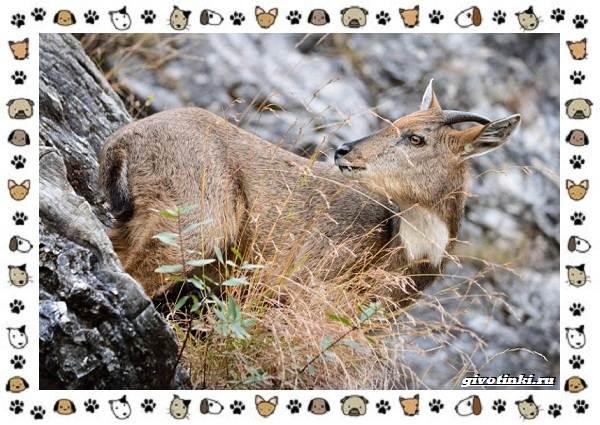Амурский-горал-описание-особенности-и-среда-обитания-5