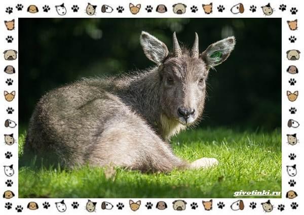 Амурский-горал-описание-особенности-и-среда-обитания-6