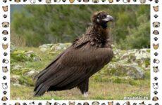Чёрный гриф птица: описание, особенности, среда обитания