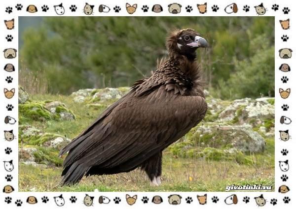Чёрный-гриф-птица-описание-особенности-среда-обитания-1