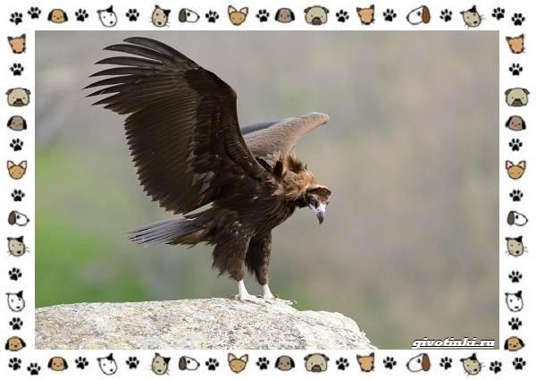 Чёрный-гриф-птица-описание-особенности-среда-обитания-2