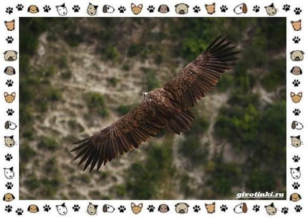 Чёрный-гриф-птица-описание-особенности-среда-обитания-3