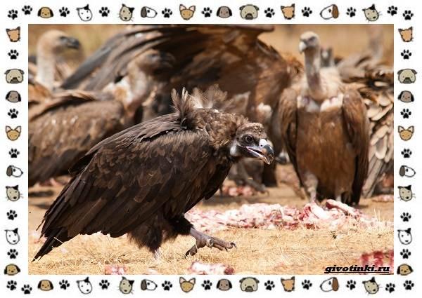 Чёрный-гриф-птица-описание-особенности-среда-обитания-4