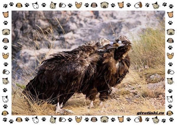Чёрный-гриф-птица-описание-особенности-среда-обитания-5