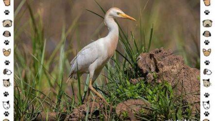 Египетская цапля: описание, особенности и среда обитания