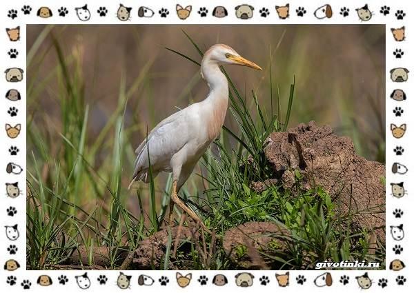 Египетская-цапля-описание-особенности-и-среда-обитания-1