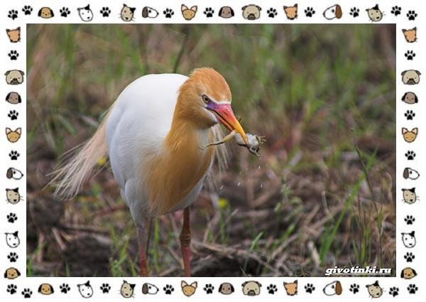 Египетская-цапля-описание-особенности-и-среда-обитания-10