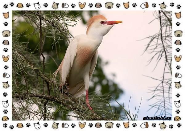 Египетская-цапля-описание-особенности-и-среда-обитания-4