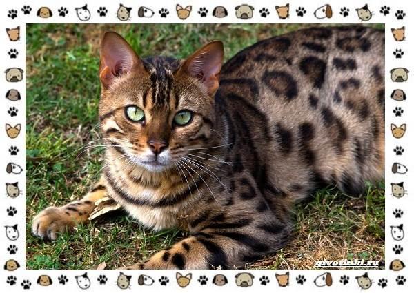 Гибридные-породы-кошек-2