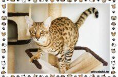 Гибридные породы кошек