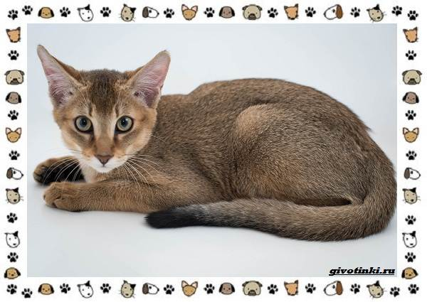 Гибридные-породы-кошек-3