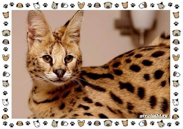 Гибридные-породы-кошек-4