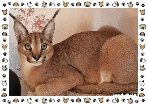 Гибридные-породы-кошек-5