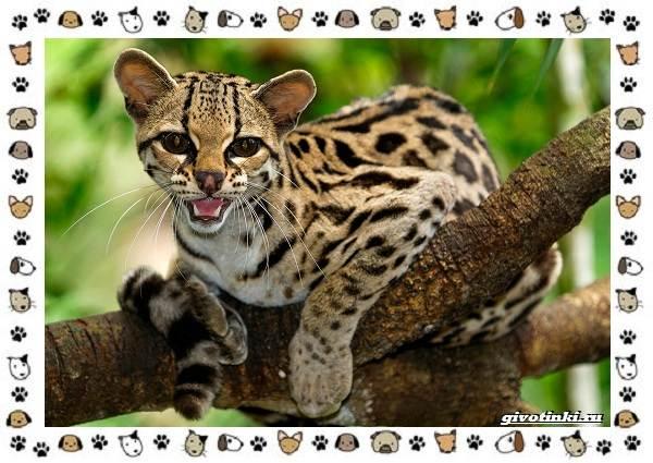 Гибридные-породы-кошек-6