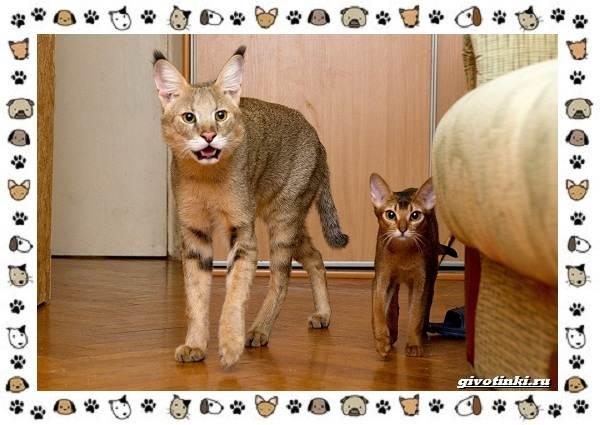Гибридные-породы-кошек-7