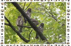Иглоногая сова: описание, особенности и среда обитания