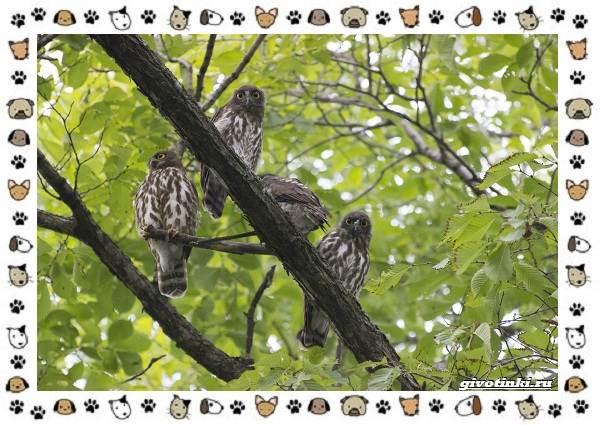 Иглоногая-сова-описание-особенности-и-среда-обитания-1