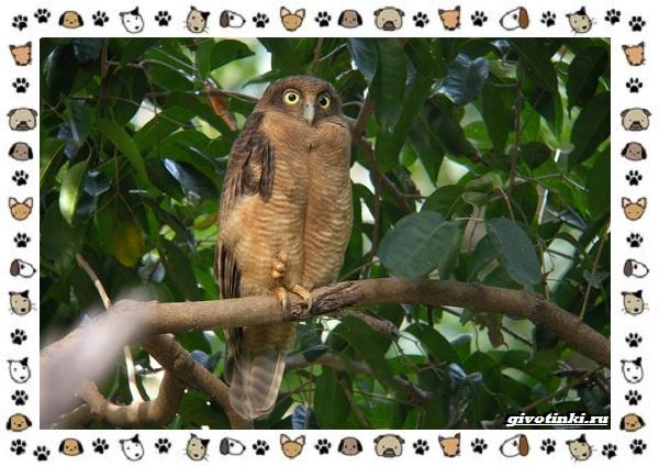 Иглоногая-сова-описание-особенности-и-среда-обитания-10-1