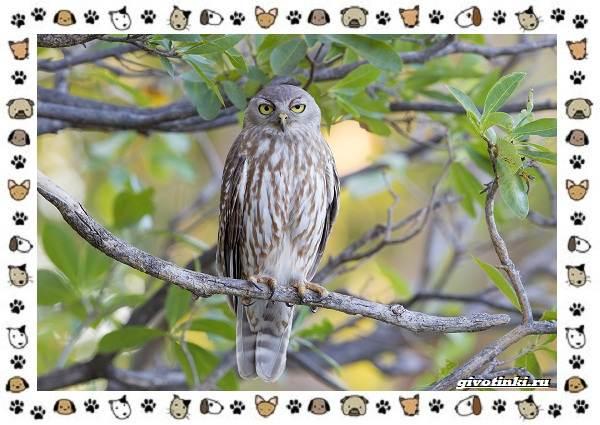 Иглоногая-сова-описание-особенности-и-среда-обитания-10