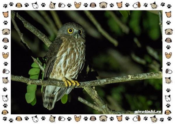 Иглоногая-сова-описание-особенности-и-среда-обитания-11-1