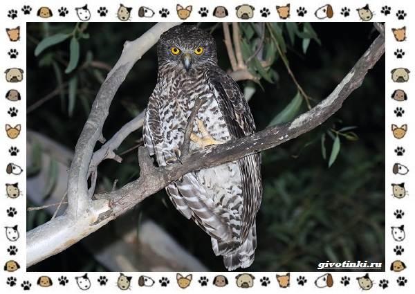 Иглоногая-сова-описание-особенности-и-среда-обитания-11
