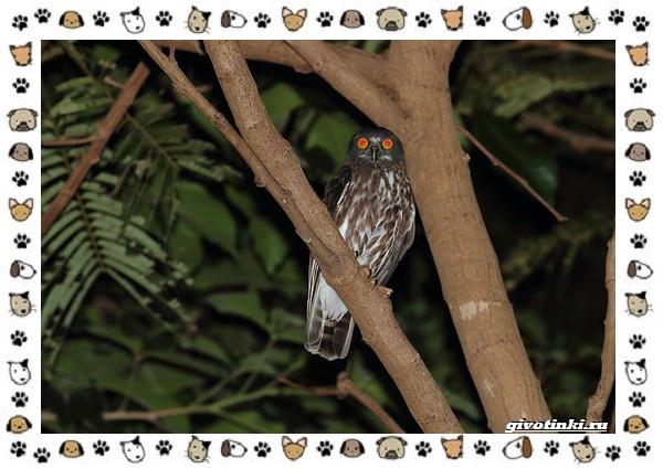 Иглоногая-сова-описание-особенности-и-среда-обитания-12-1