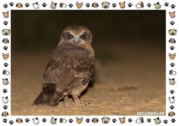Иглоногая-сова-описание-особенности-и-среда-обитания-12