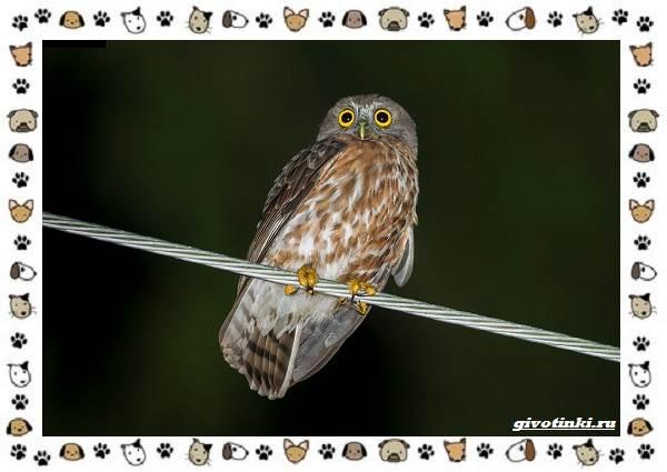 Иглоногая-сова-описание-особенности-и-среда-обитания-13