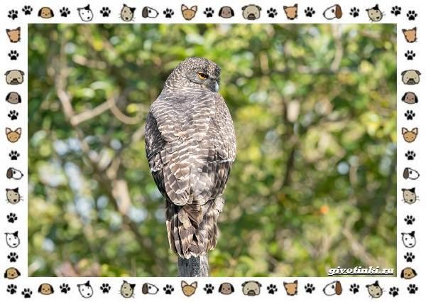 Иглоногая-сова-описание-особенности-и-среда-обитания-4