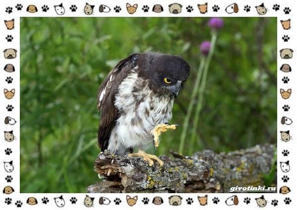 Иглоногая-сова-описание-особенности-и-среда-обитания-7