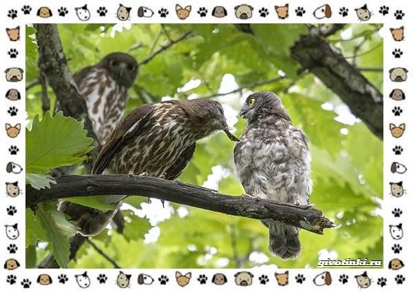 Иглоногая-сова-описание-особенности-и-среда-обитания-8