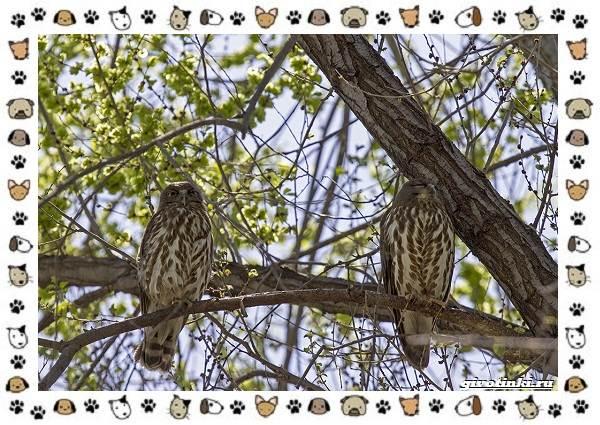 Иглоногая-сова-описание-особенности-и-среда-обитания-9