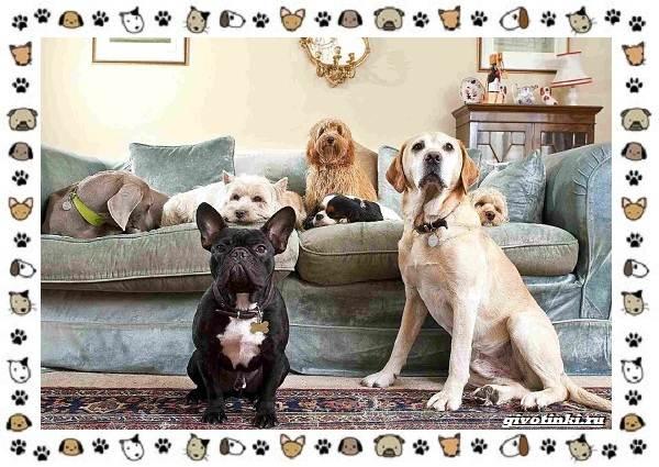 Маленькие-квартирные-собаки-8-пород-для-однокомнатной-квартиры-11