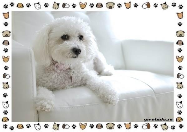 Маленькие-квартирные-собаки-8-пород-для-однокомнатной-квартиры-3