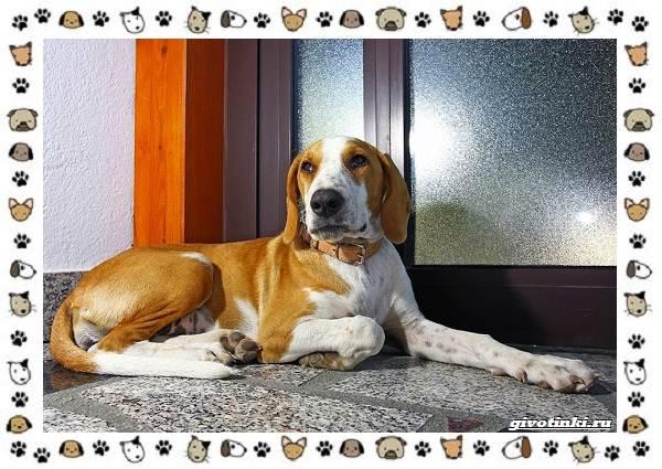 Маленькие-квартирные-собаки-8-пород-для-однокомнатной-квартиры-6