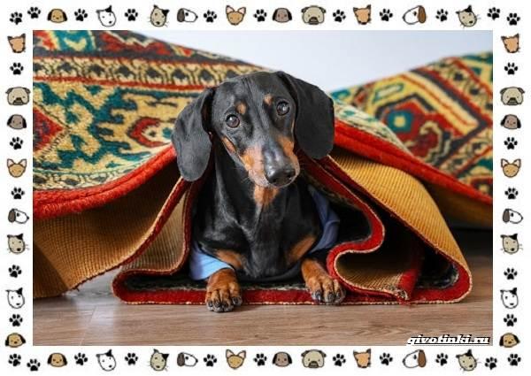 Маленькие-квартирные-собаки-8-пород-для-однокомнатной-квартиры-7