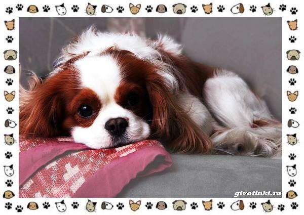 Маленькие-квартирные-собаки-8-пород-для-однокомнатной-квартиры-8