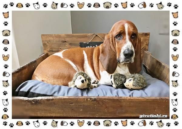 Маленькие-квартирные-собаки-8-пород-для-однокомнатной-квартиры-9