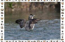 Птица хохлатый старик: описание, особенности и среда обитания